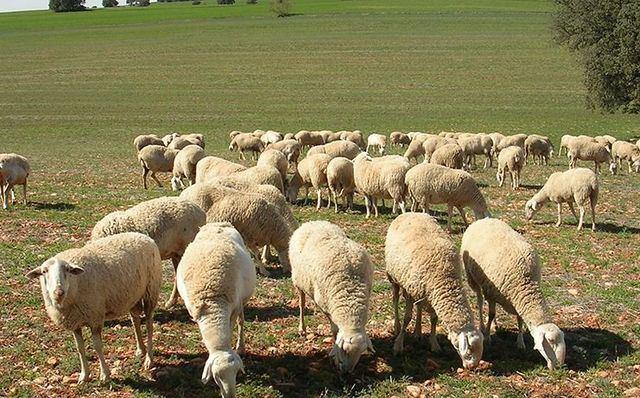 Un pastor resulta herido tras ser atacado por una oveja