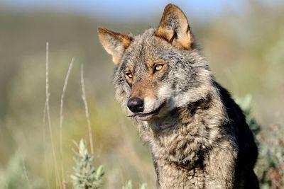 Atención, cazar lobos queda prohibido desde mañana
