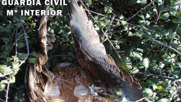 Detienen a un vecino de Lagartera por envenenar a 3 ejemplares de milano real y 3 zorros
