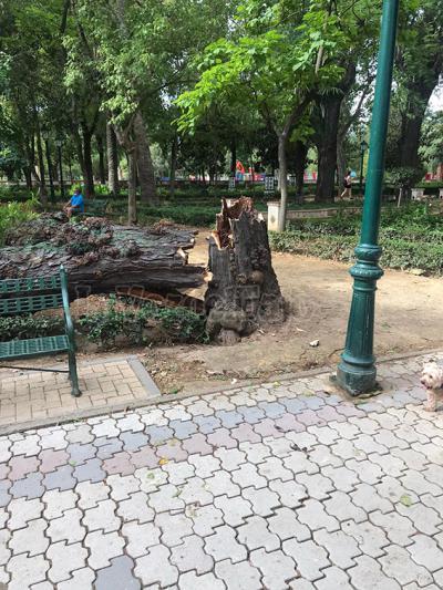PUDO SER UNA DESGRACIA | Un árbol de grandes dimensiones cae en medio de talaverano Parque de El Prado