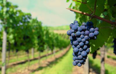 CLM convoca ayudas para la reestructuración de viñedos por 31,4 millones