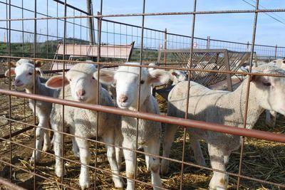 CLM es declarada oficialmente región indemne a la brucelosis ovina y caprina