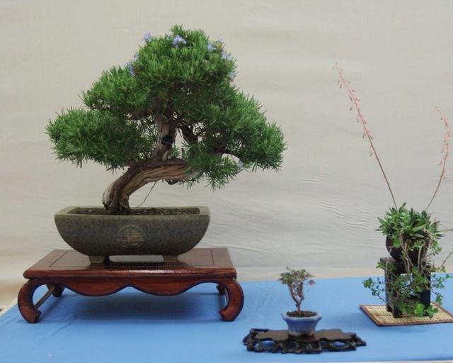 Un bonsai.