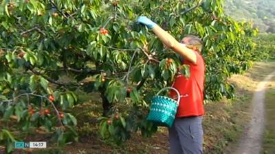 AGRICULTURA | Se buscan temporeros para recoger cerezas