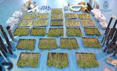Desmantelan un cultivo de 1.477 plantas de marihuana en Toledo