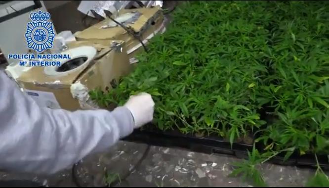 Incautan 3.000 plantas de marihuana procedentes de Los Navalmorales