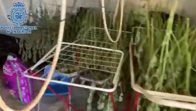 MÉNTRIDA | Detenida por cultivar en su casa más 1.200 plantas de marihuana