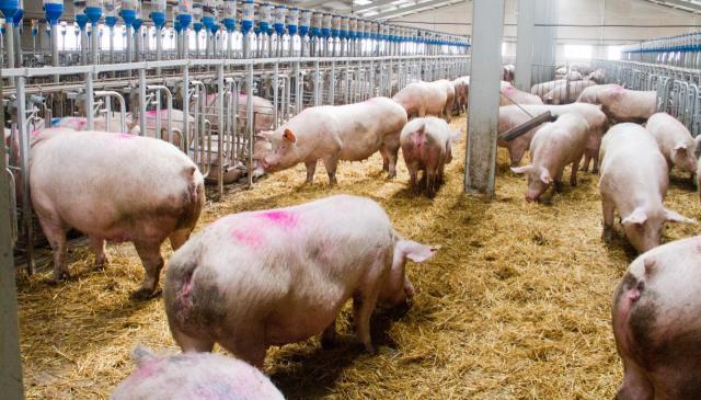 La Junta da luz verde a una granja de 2.000 plazas de cebo de porcino en Lucillos