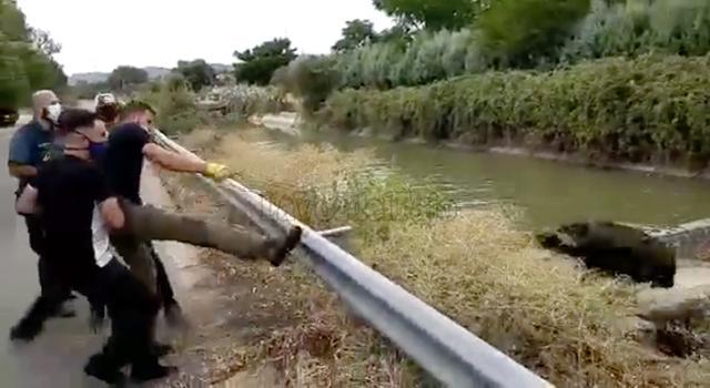 VIDEO | Rescatan a un jabalí que se ahogaba en el Canal del Alberche