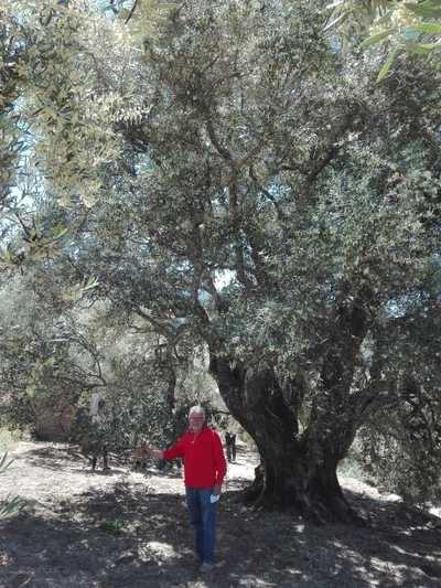 El autor del reportaje junto a este extraordinario olivo al que contemplan medio siglo. Toda una joya de la naturaleza.