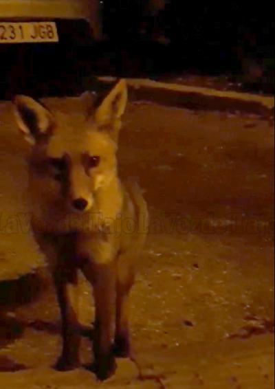 VIDEO | Avistan un zorro común en las inmediaciones de Talavera Ferial