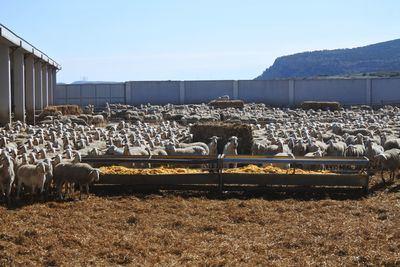 AYUDAS | 2,3 millones de euros destinados al sector ovino en la provincia de Toledo