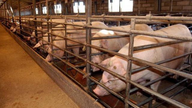 La Junta otorga Autorización Ambiental Integrada para que una granja porcina duplique producción en Villa de Don Fadrique