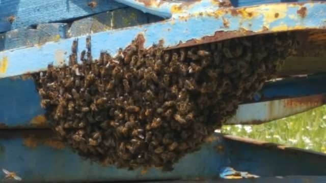 Retiran un enjambre de abejas alojado en un remolque en Cazalegas