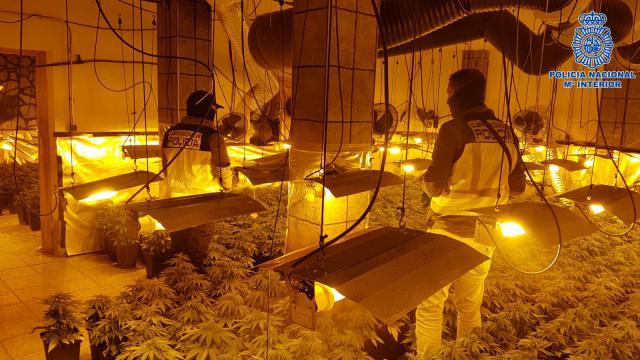 Desmantelado en el barrio de Patrocinio un laboratorio clandestino con marihuana con 961 plantas