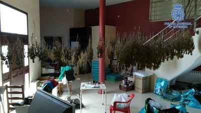 Desmanteladas en Pepino dos plantaciones de marihuana con 550 plantas
