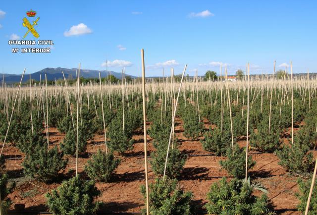 Intervienen una plantación de cámaño que resulta tener 12.000 plantas de marihuana