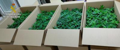 Portaban 960 plantas de marihuana y huyeron de un control policial