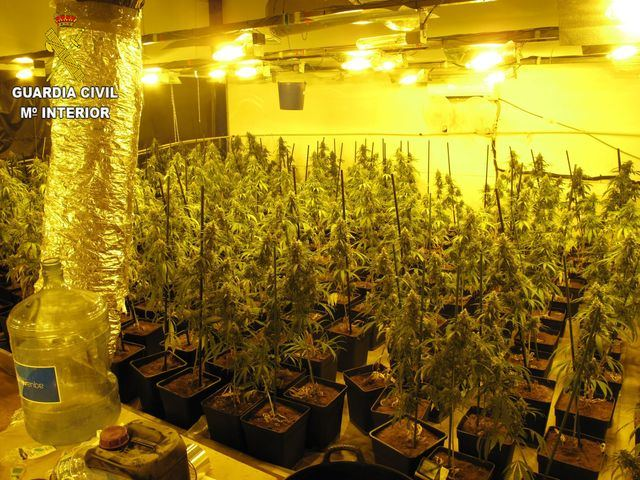 Plantas de marihuana | Guardia Civil