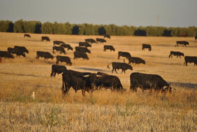 COVID-19 | S.O.S. de los ganaderos de lidia