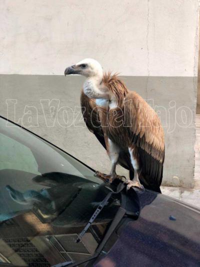 Un buitre en la ciudad: el ave se 'pasea' por Talavera