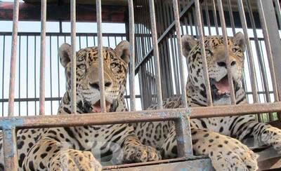 Talavera de la Reina 'ciudad libre de circos con animales'
