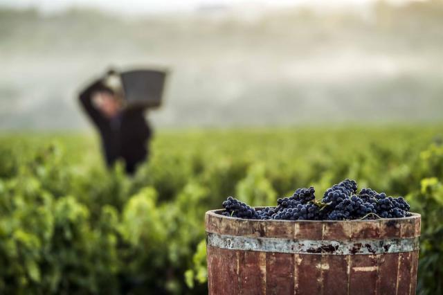 ASAJA alerta a agricultores de CLM para que no entreguen su uva sin contrato cumplimentado y firmado