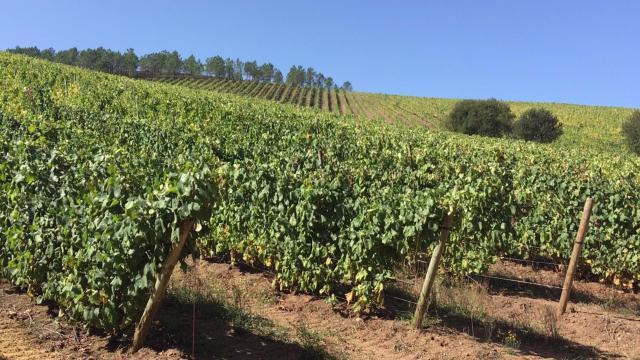 AGRICULTURA | Riesgo serio para el viñedo