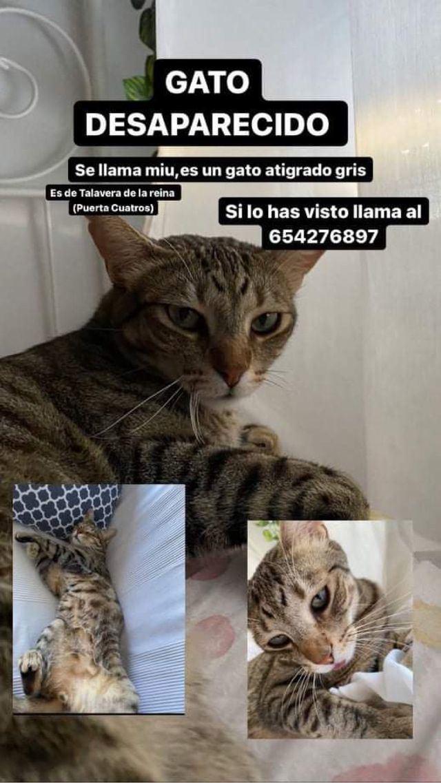 ¿Lo has visto? Llamamiento en Talavera para encontrar a este gato