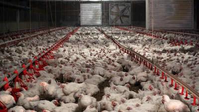 Mueren 40.000 pollos tras el incendio de una nave