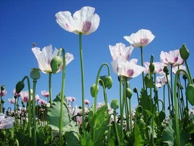 Guardia Civil mantiene en secreto las plantaciones de amapola blanca en Toledo para evitar la extracción ilegal de opio