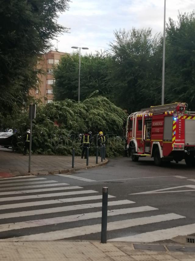 TALAVERA | Se desploma un árbol de grandes dimensiones por la tormenta