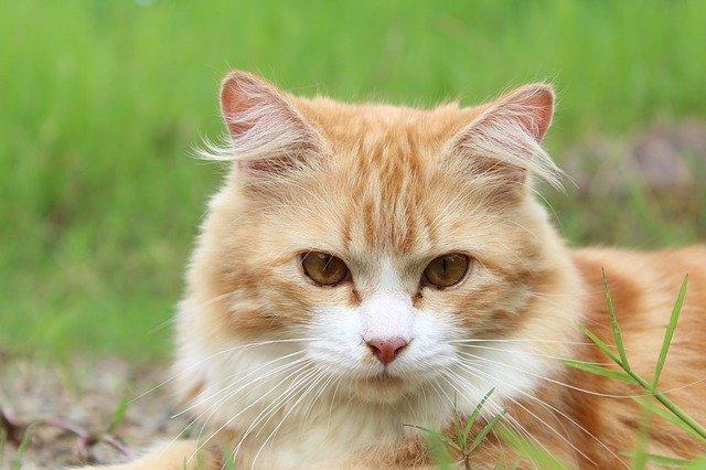 COVID-19 | Un gato contagiado de coronavirus por su dueño