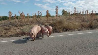 Vuelca un camión en un pueblo de Toledo y los cerdos que iban dentro