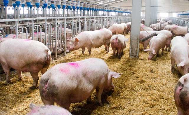 Macrogranjas y explotaciones porcinas a debate
