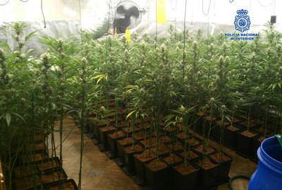 Desmantelado en Bargas un laboratorio clandestino donde se cultivaba y vendía marihuana