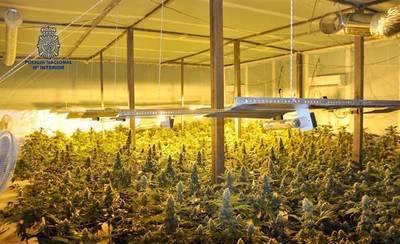 Desmantelada una plantación de marihuana con 442 plantas