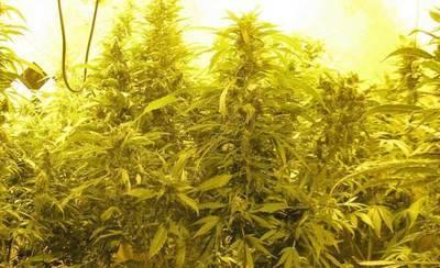 Dos detenidos por cultivar 547 plantas de marihuana en una vivienda unifamiliar