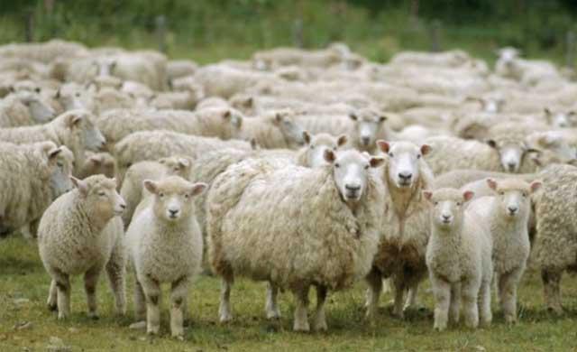 Detenido por robar 56 ovejas de ganaderías cercanas a la suya