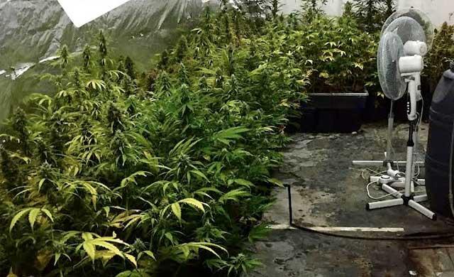 Detenido un hombre en Tomelloso al tener 142 plantas de marihuana