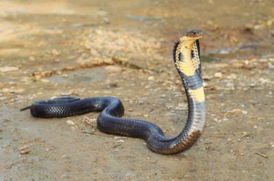 REPTILES | Tres de las cobras incautadas a un particular en Toledo irán a Terra Natura
