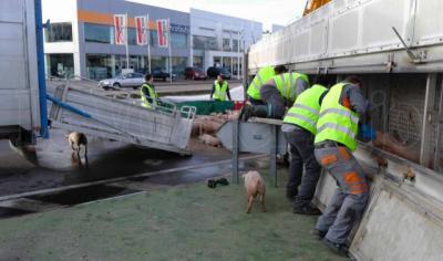 Unos 200 cochinillos muertos al volcar un camión en el Polígono de Cazalegas