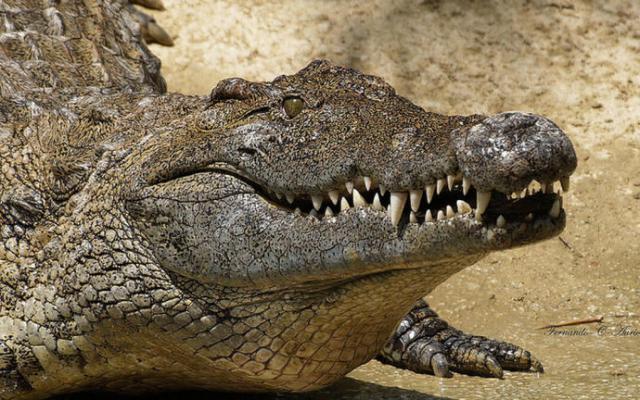 VIRAL | El cocodrilo de Cazalegas que era un tronco… y el reptil del Pisuerga que es...
