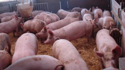 la Junta deniega la instalación de dos granjas de cebo de cerdos que albergarían 14.400 animales en Los Cerralbos