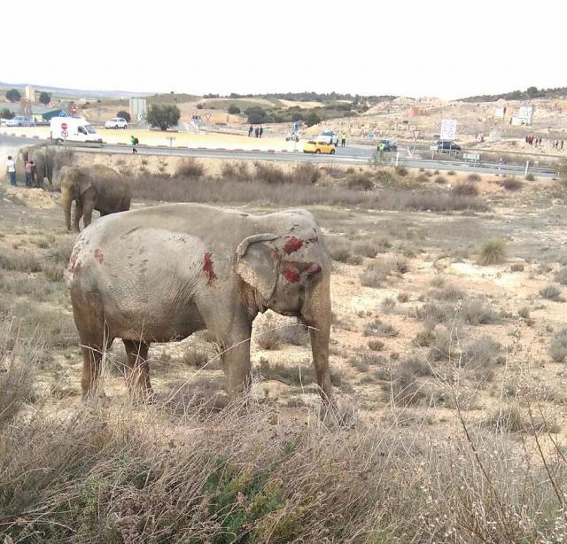 PACMA recoge 130.000 firmas en 24 horas para que las elefantas del accidente no vuelvan al Circo Gottani