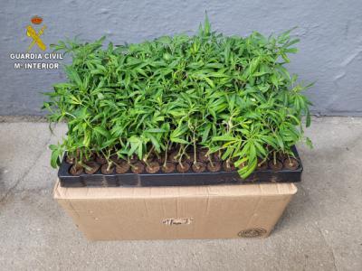 COMARCA DE TALAVERA | Dos detenidos por tráfico de drogas: 300 plantas de marihuana