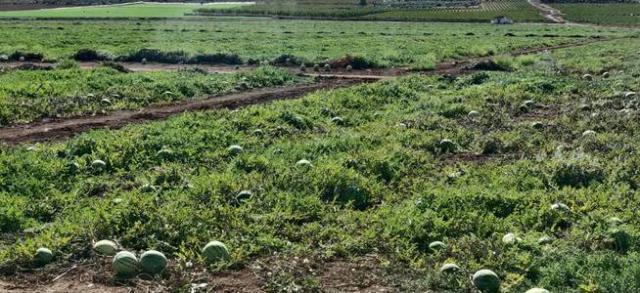 DESPILFARRO DE AGUA | Millones de melones y sandías abandonados en Murcia