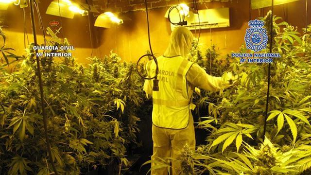 Desmantelada una plantación interior de marihuana con 1.256 plantas