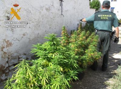 Detienen a un joven de 27 años y se incauta de 35 plantas de marihuana en Chinchilla