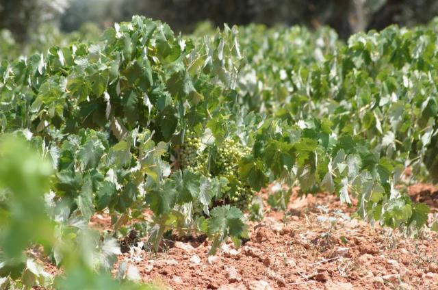 CLM abona 4,5 millones de euros a los viticultores por pagos de reestructuración de viñedo